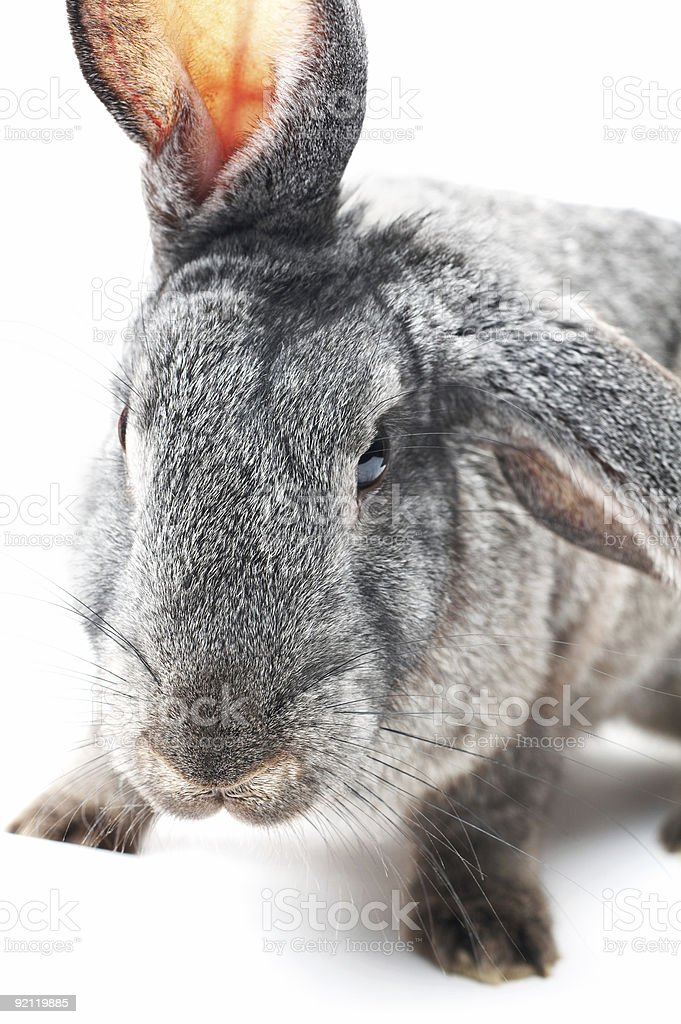 angry rabbit royalty-free stock photo