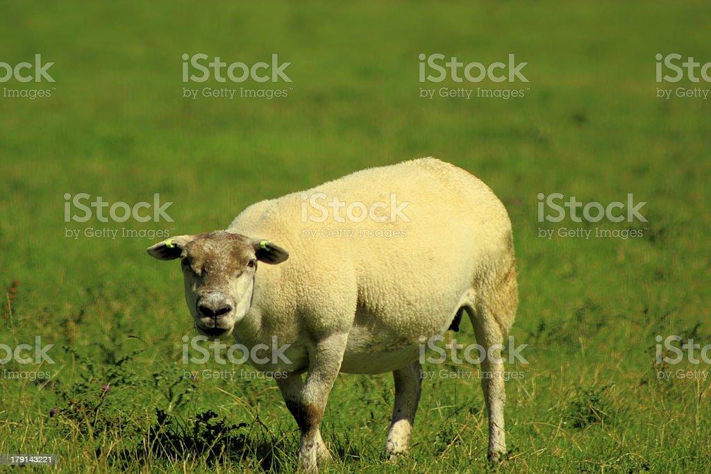 angry sheep stock photo