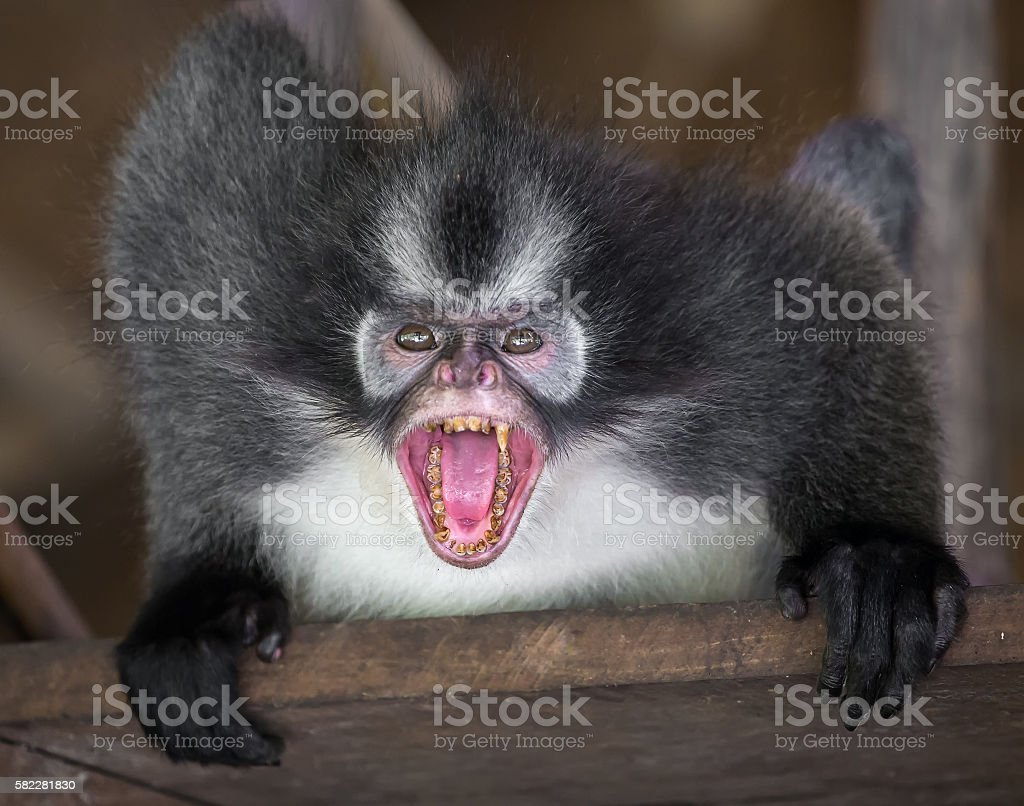 Angry Thomas's langur monkey showing his teeth stock photo