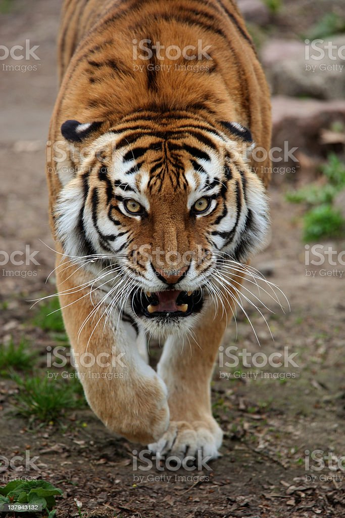 angry tiger is coming royalty-free stock photo