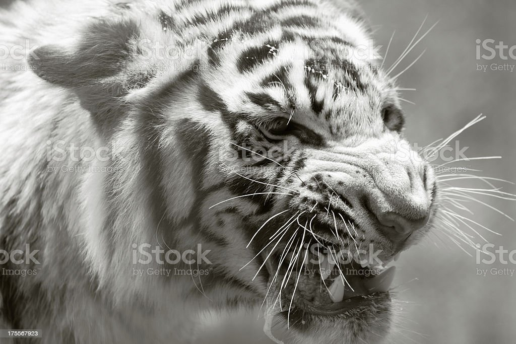 Angry tiger royalty-free stock photo