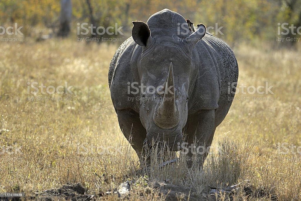 Angry white Rhinocerus stock photo