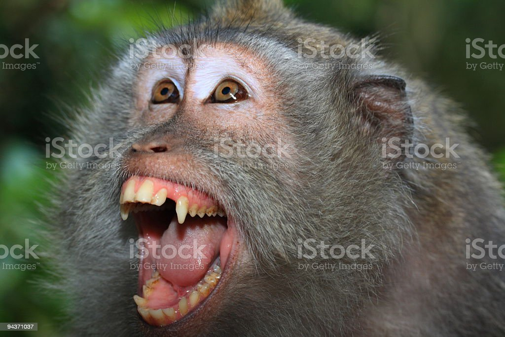 Angry wild monkey (long-tailed macaque) portrait stock photo