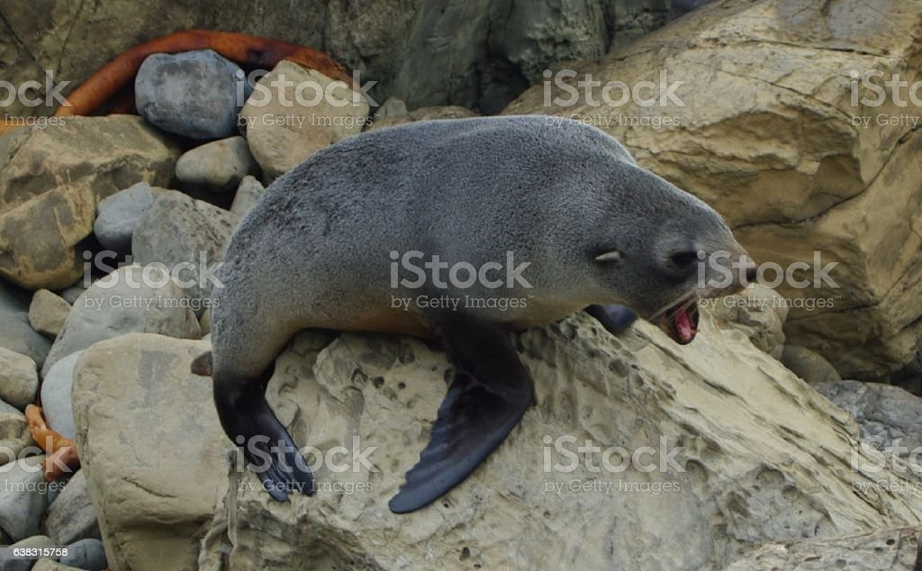 angry yound fur seal stock photo