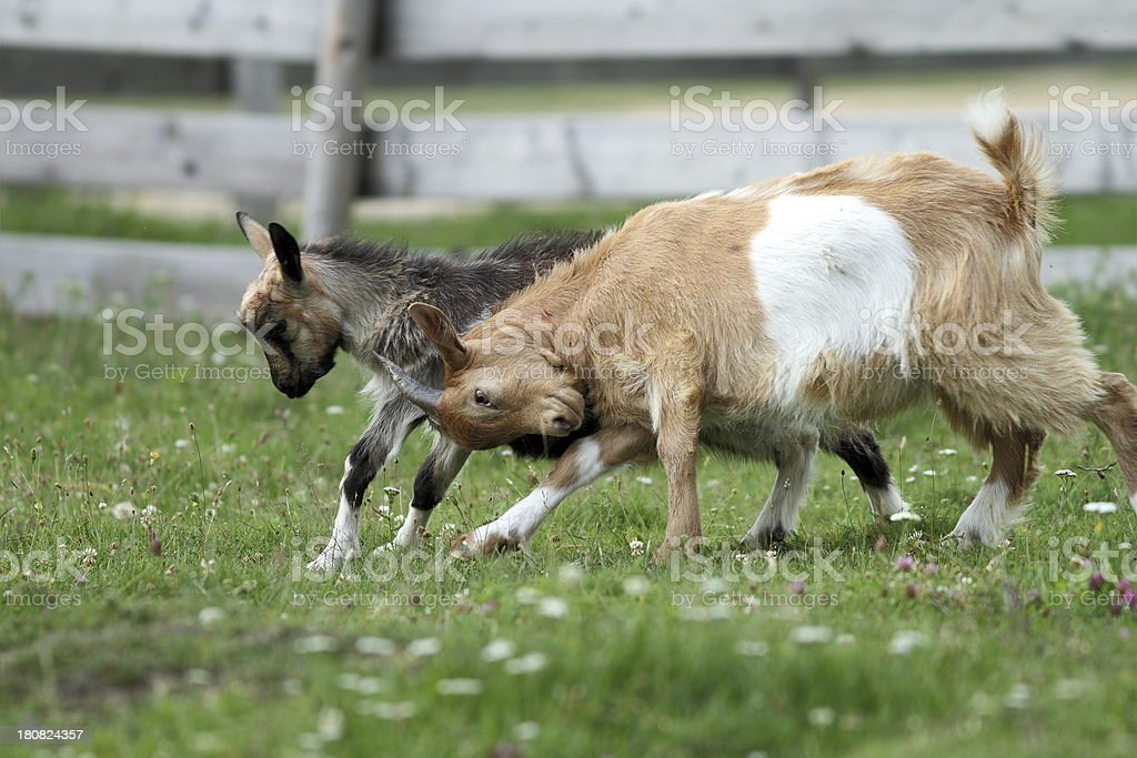 angry young goats fighting royalty-free stock photo