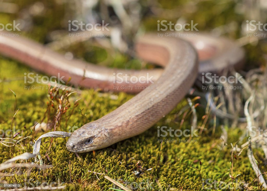 Anguis fragilis at Veluwe Netherlands stock photo