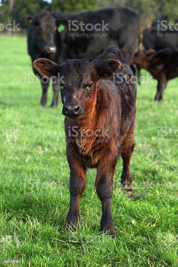 Angus calf  beef cattle stock photo