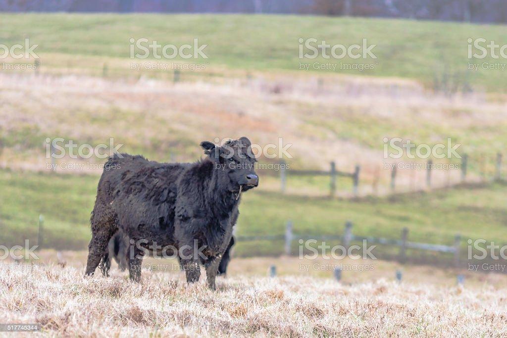 Angus calf in winter pasture stock photo