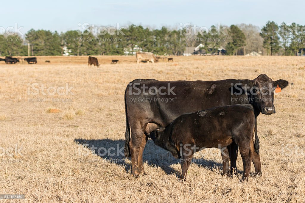 Angus calf nursing with blank area to left stock photo