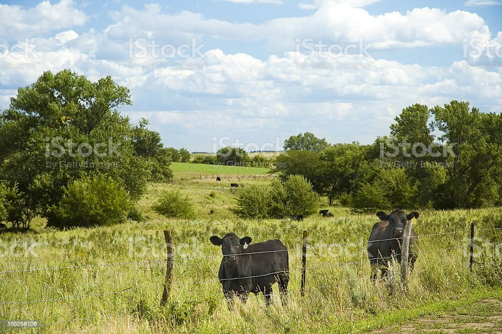 Angus Cattle at Pasture stock photo