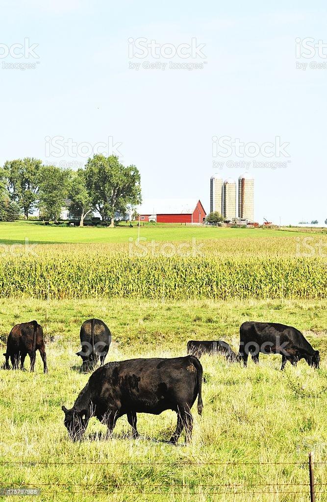 Angus Cattle stock photo