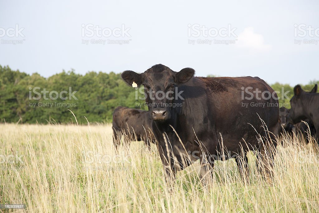 Angus Cow Looking at Camera royalty-free stock photo