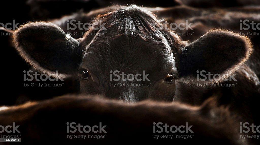 Angus Cow stock photo