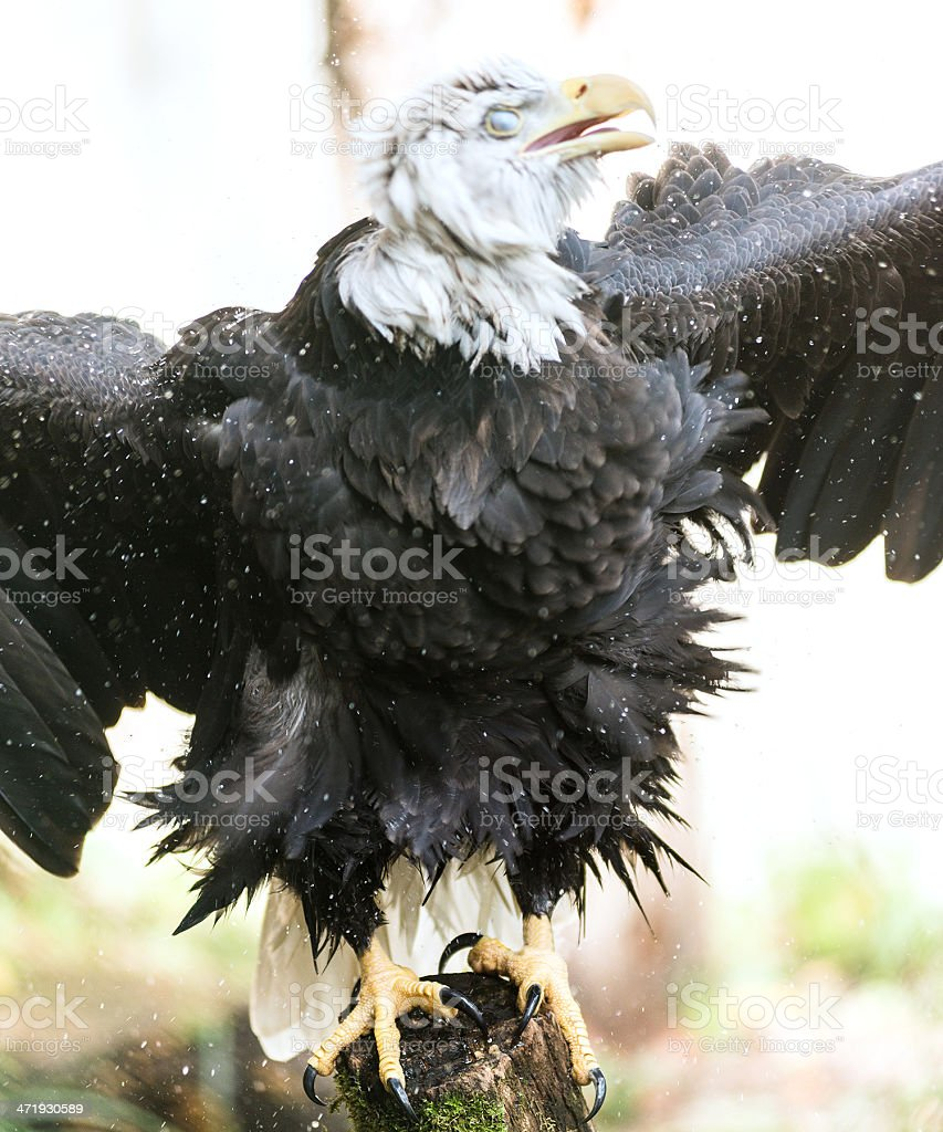 angy eagle monster royalty-free stock photo