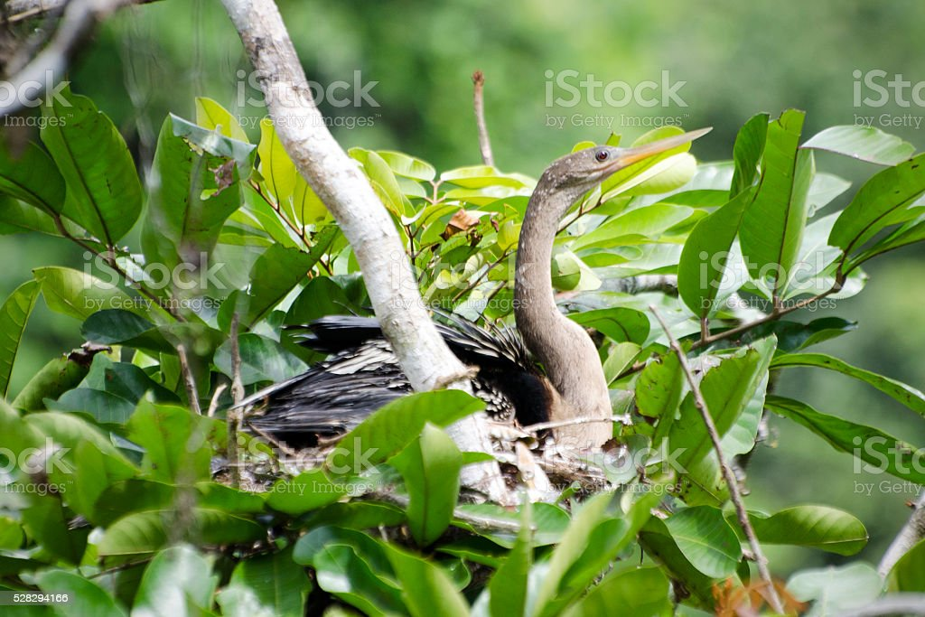 anhinga, Anhinga anhinga, on nest stock photo