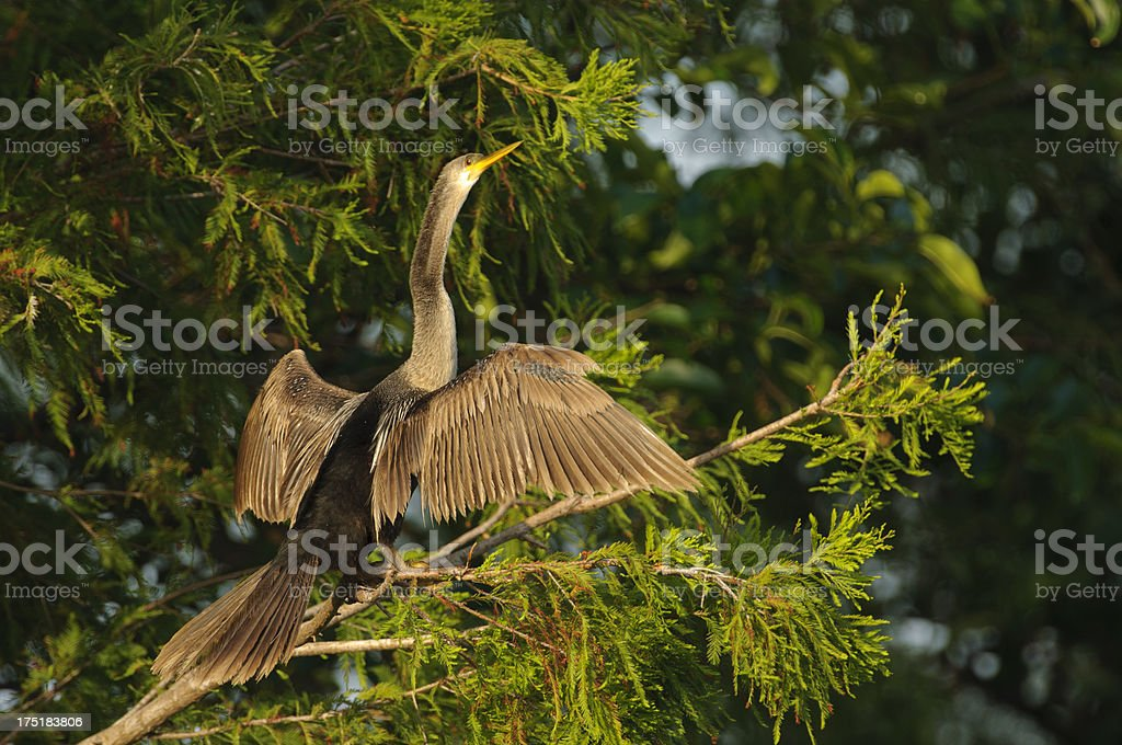 Anhinga drying wings royalty-free stock photo