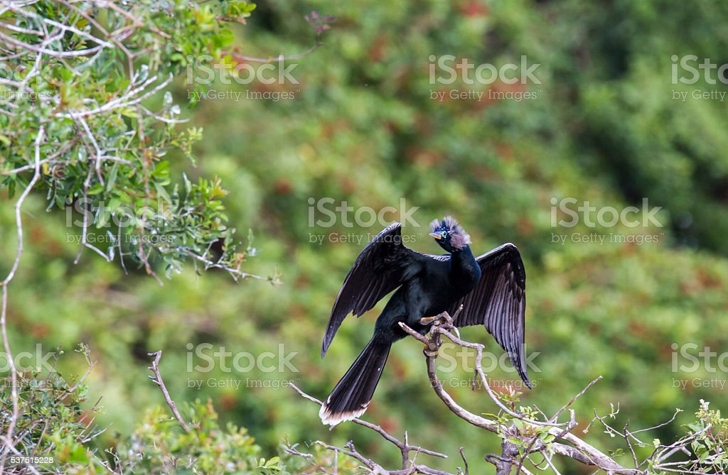 Anhinga in breeding plumage stock photo