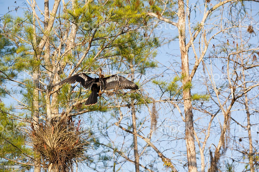 Anhinga in the Everglades National Park royalty-free stock photo