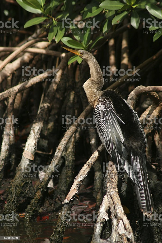 Anhinga ubicada en un manglar raíz foto de stock libre de derechos