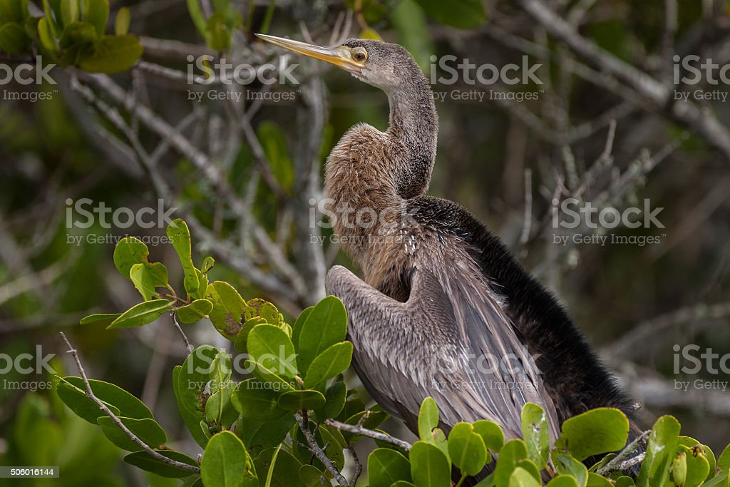 Anhinga Perched stock photo