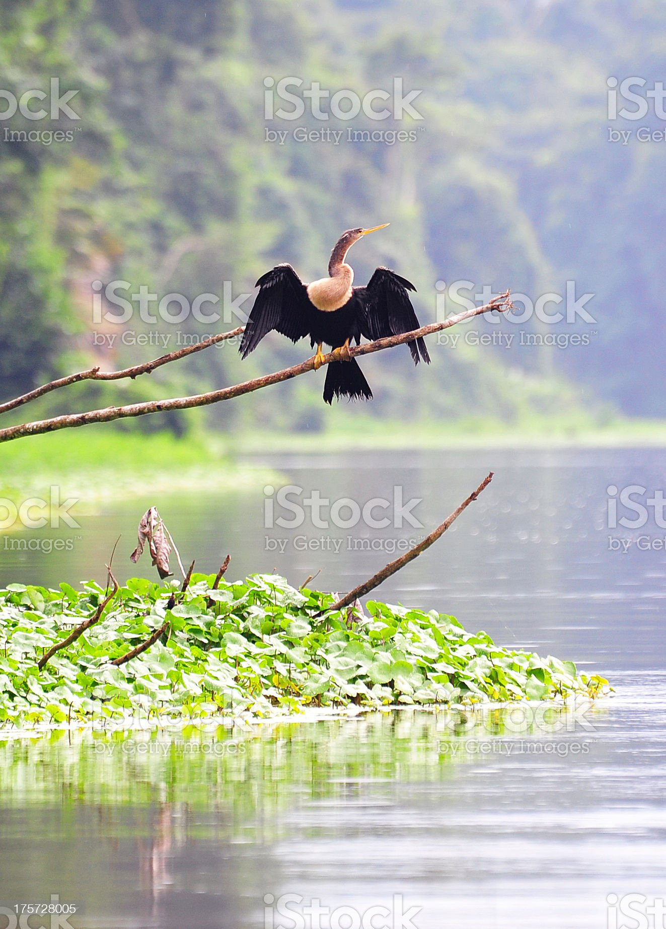 Anhinga royalty-free stock photo