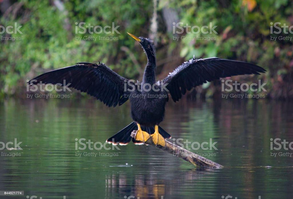 Anhinga Spreading Wings in the Rain stock photo