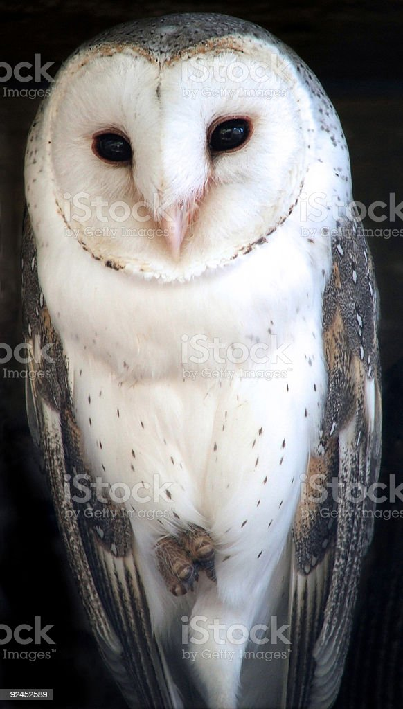 Animal - barn owl royalty-free stock photo