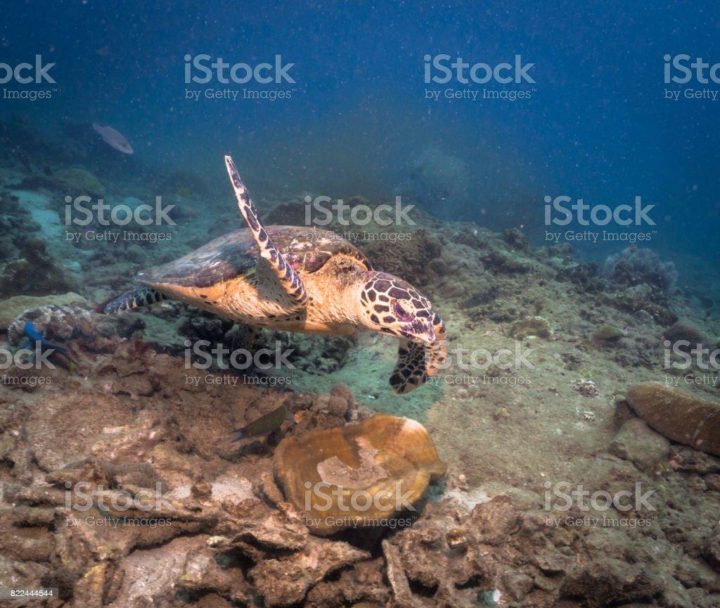 Animal Behaviour: Critically Endangered Species Hawksbill Sea Turtle (Eretmochelys imbricata) stock photo