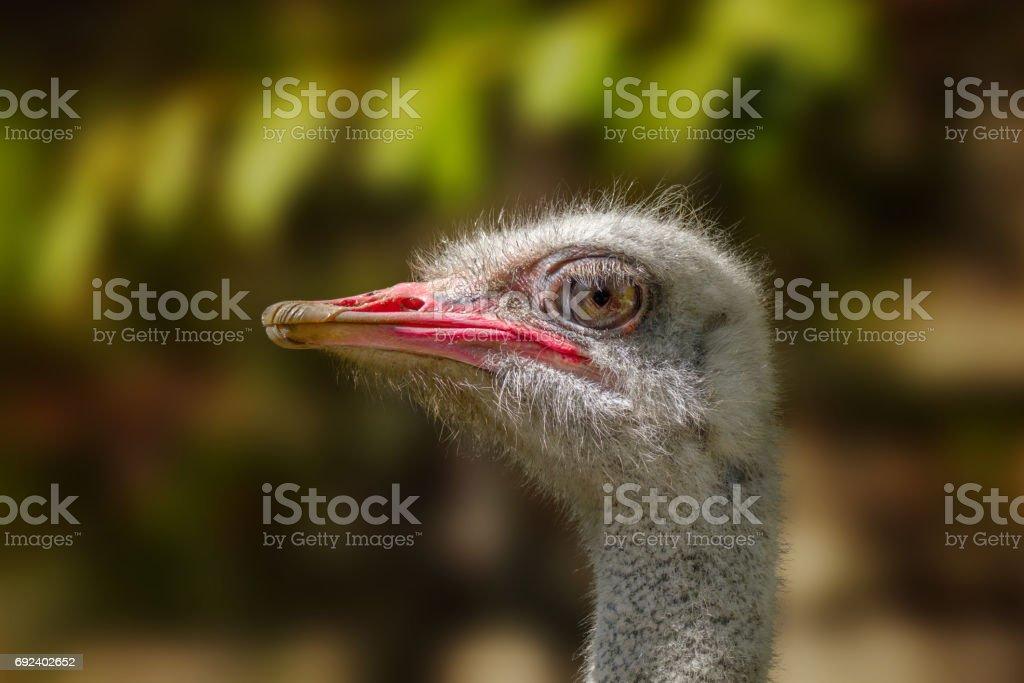 animal big bird of an ostrich stock photo