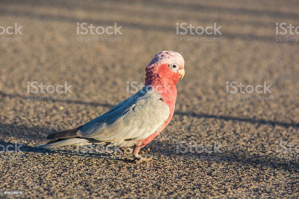 Animal : Bird Cockatoo, Western Australia Wildlife stock photo