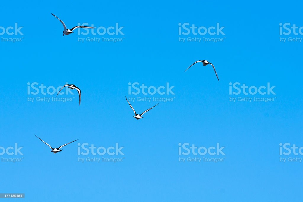 Five Eurasian Oystercatchers in flight against a blue winter sky....