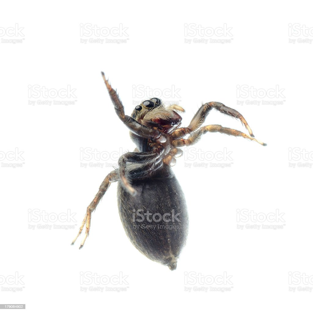 animal black jumping spider royalty-free stock photo