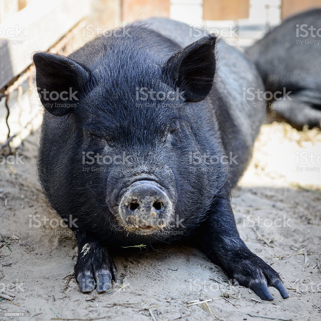 animal black pig stock photo