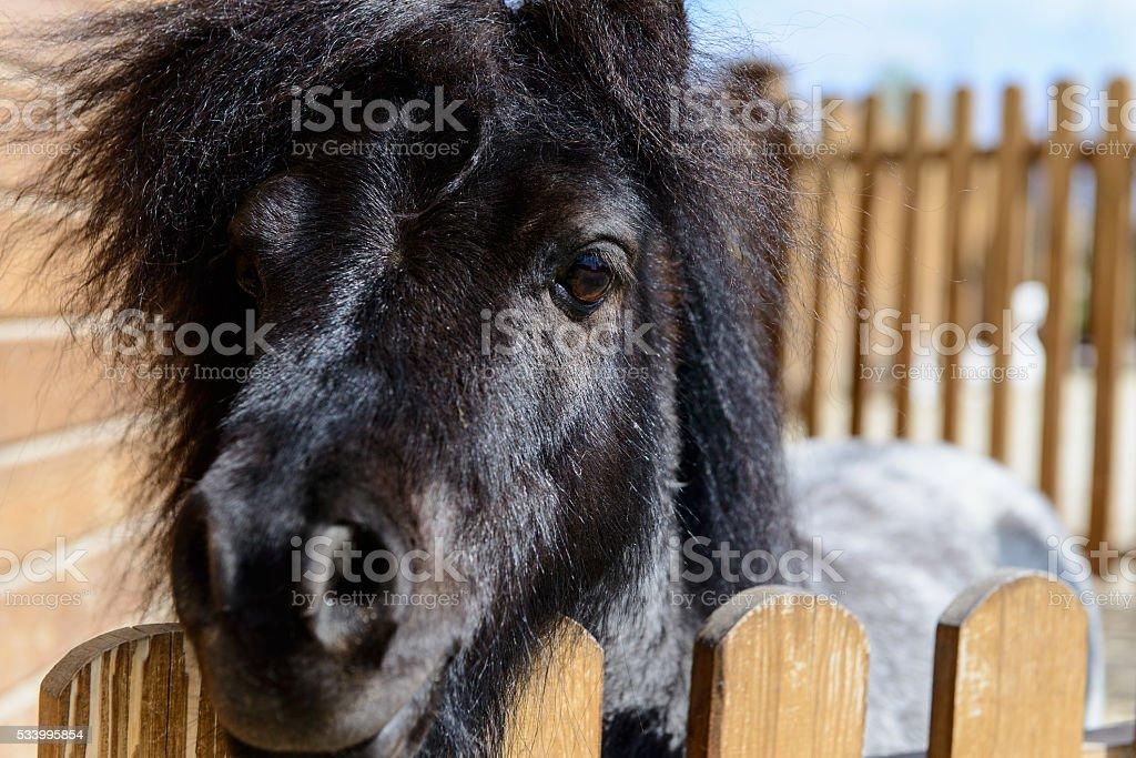 animal black pony stock photo
