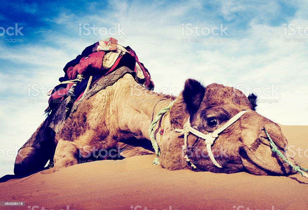 Animal Camel Desert Resting Concept stock photo