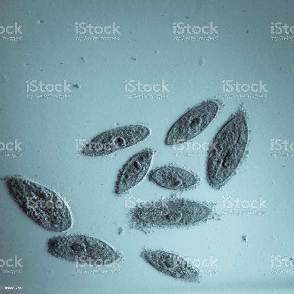 Animal conjugation of Paramecium Caudatum on blue royalty-free stock photo