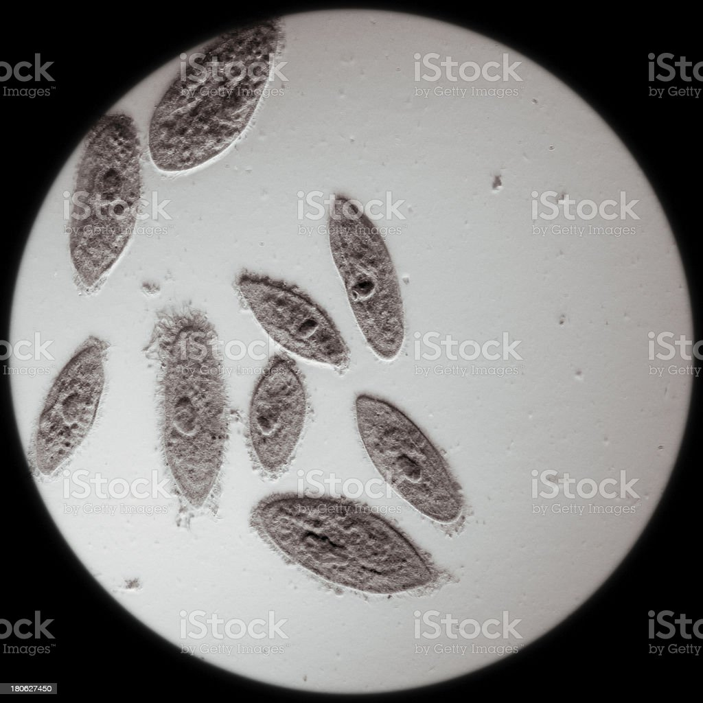 animal  conjugation of Paramecium caudatum stock photo