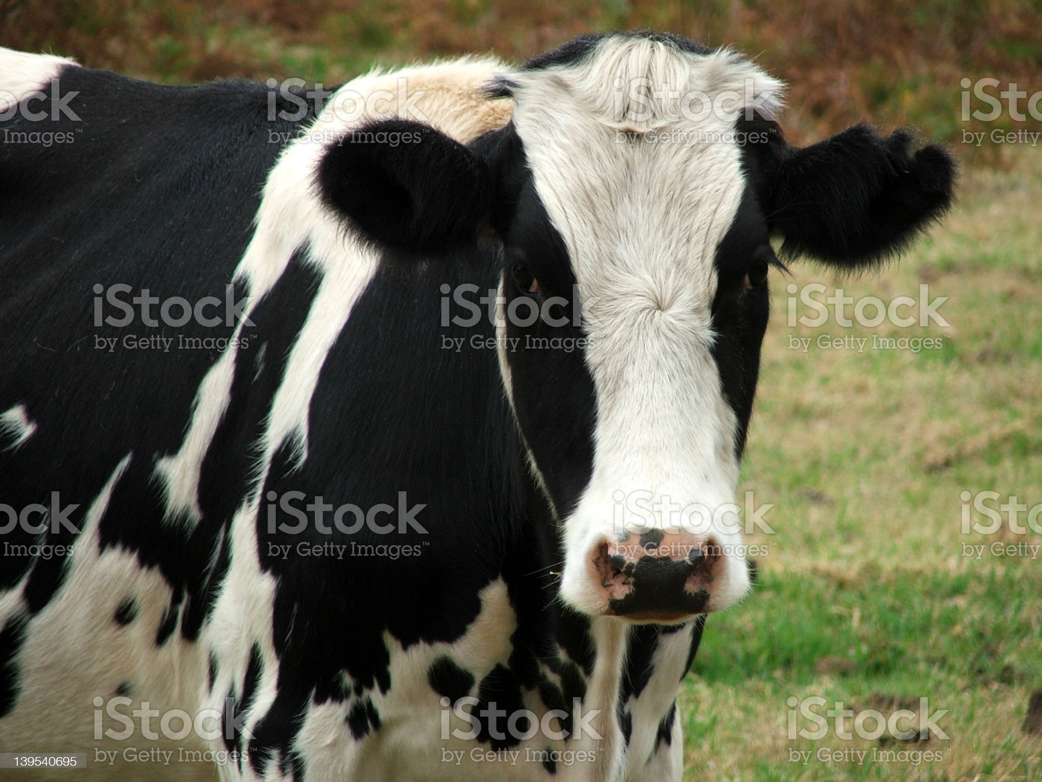 Animal - cow look at you royalty-free stock photo