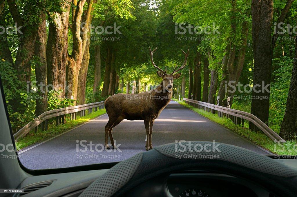 animal crossing - car windshield view to deer on street stock photo