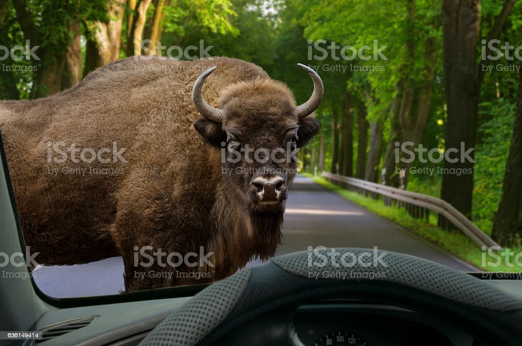 animal crossing - car windshield view to problem on street stock photo