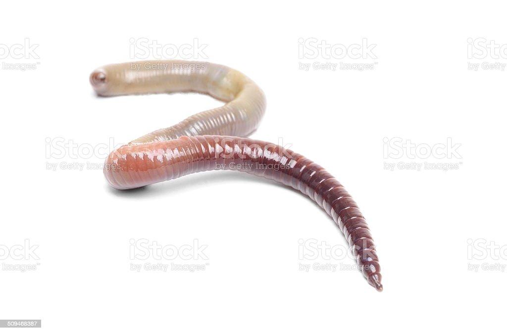 animal earth worm isolated stock photo