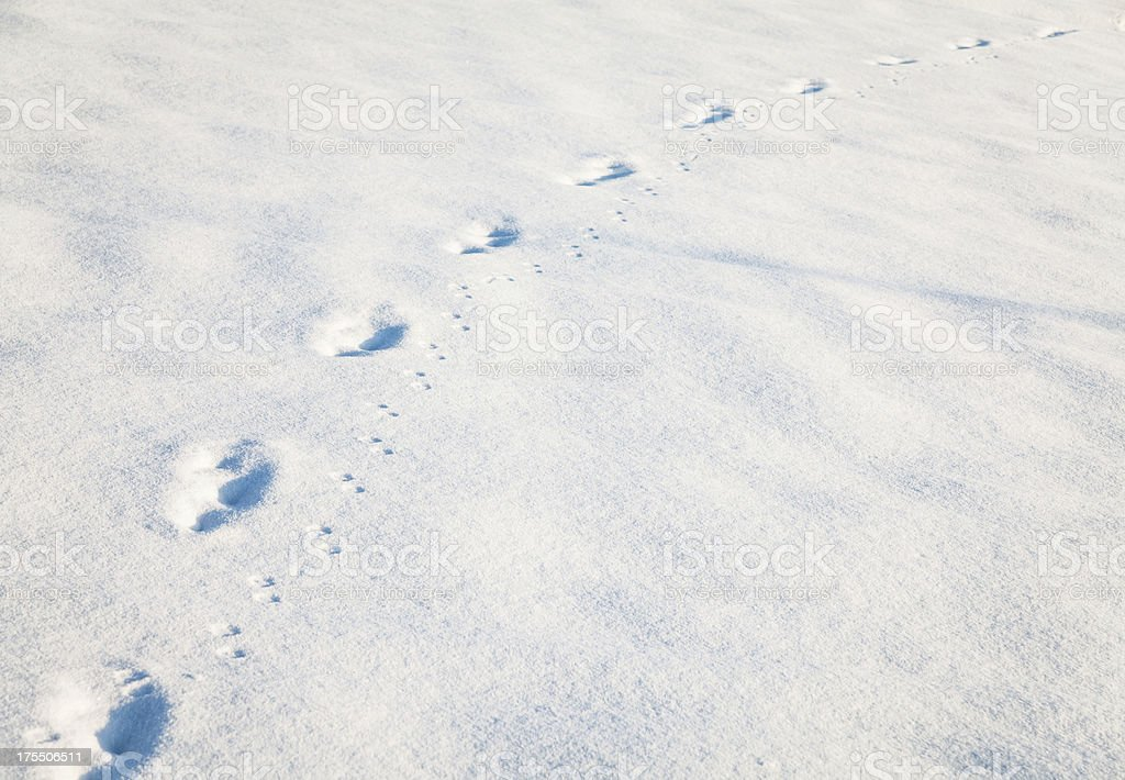 Animal footprint on the snow stock photo