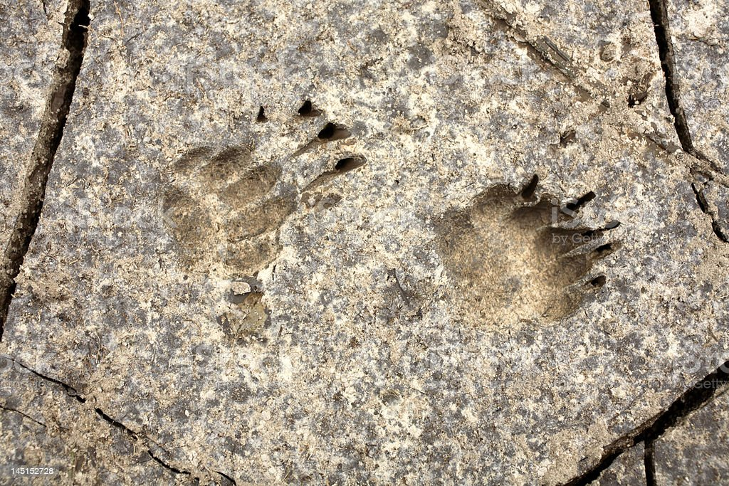 Animal footprints in dry mud royalty-free stock photo