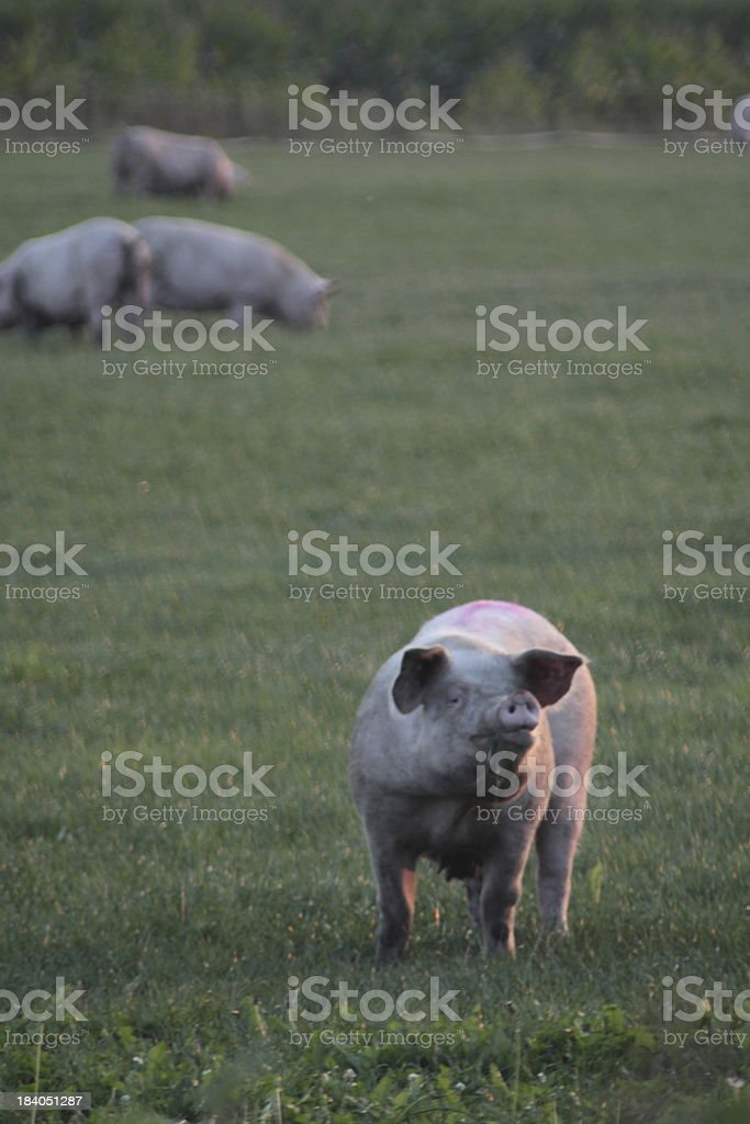 Animal friendly farming stock photo