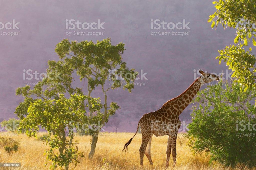 Animal giraffe African wildlife safari woodland nature mountain...