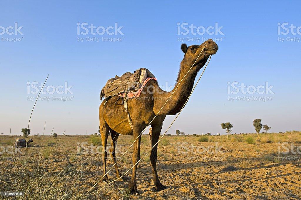 Animal in desert at sunset time royalty-free stock photo