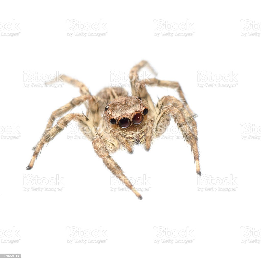 animal jumping spider royalty-free stock photo