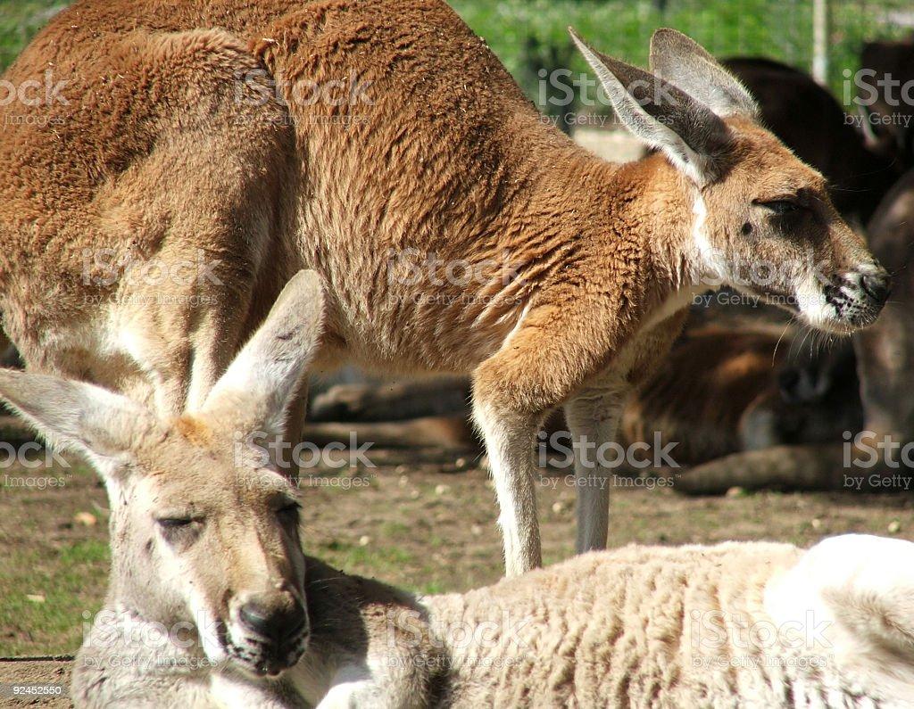 Animal - kangaroo stock photo