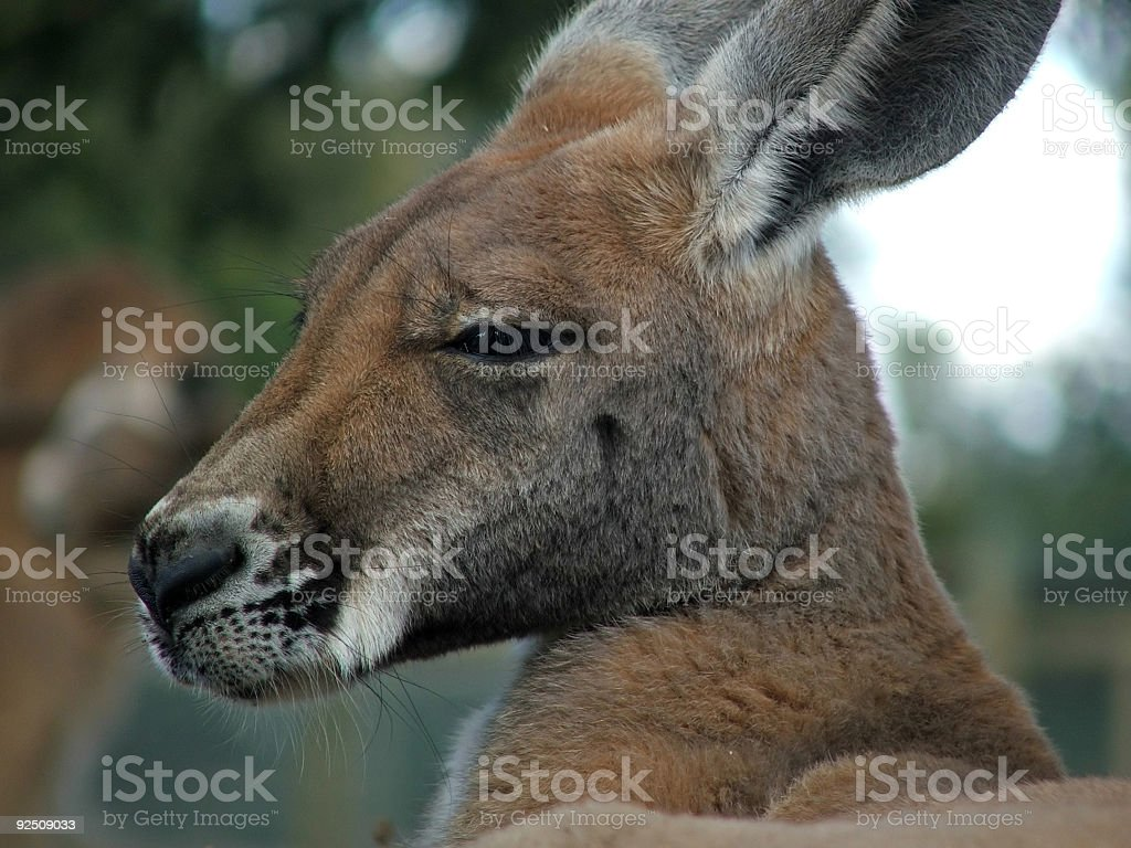 Animal - kangaroo royalty-free stock photo