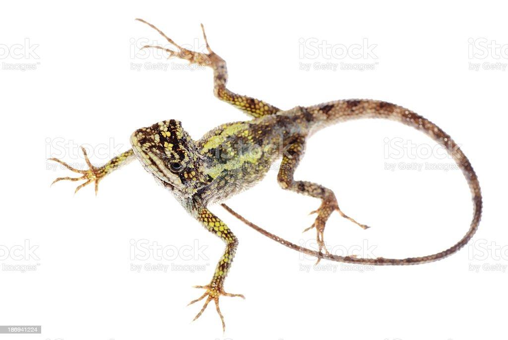 animal lizard Chinese tree dragon royalty-free stock photo